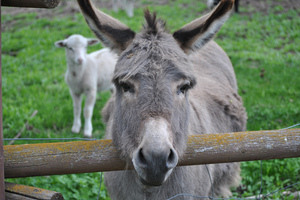 Donkeys in All Directions: The Global History of an Adorable Beast of Burden