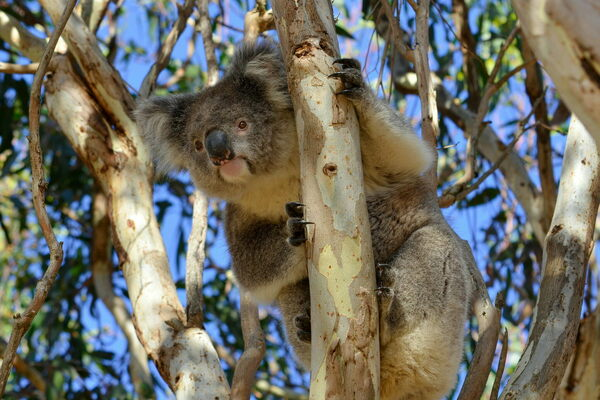 Found: The Only Wild Koala Population in Australia That Is