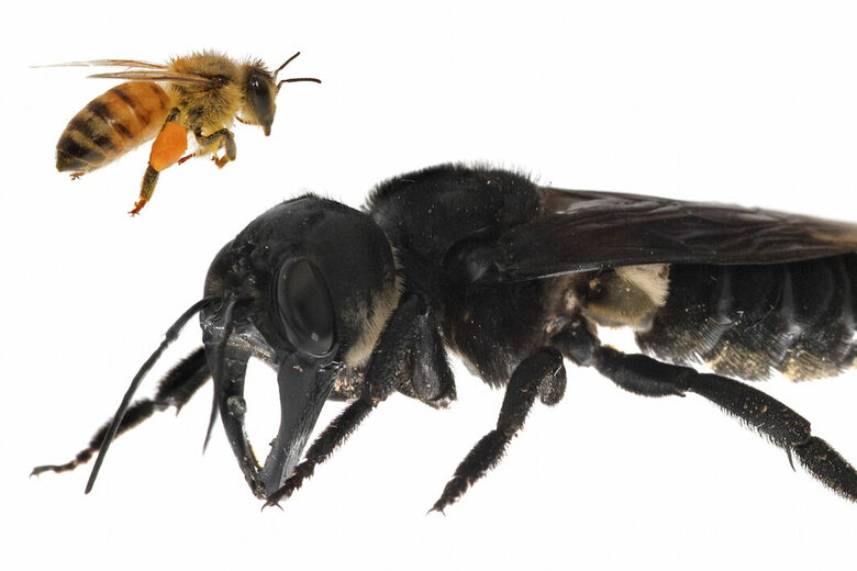 Found: The Biggest Bee in the World