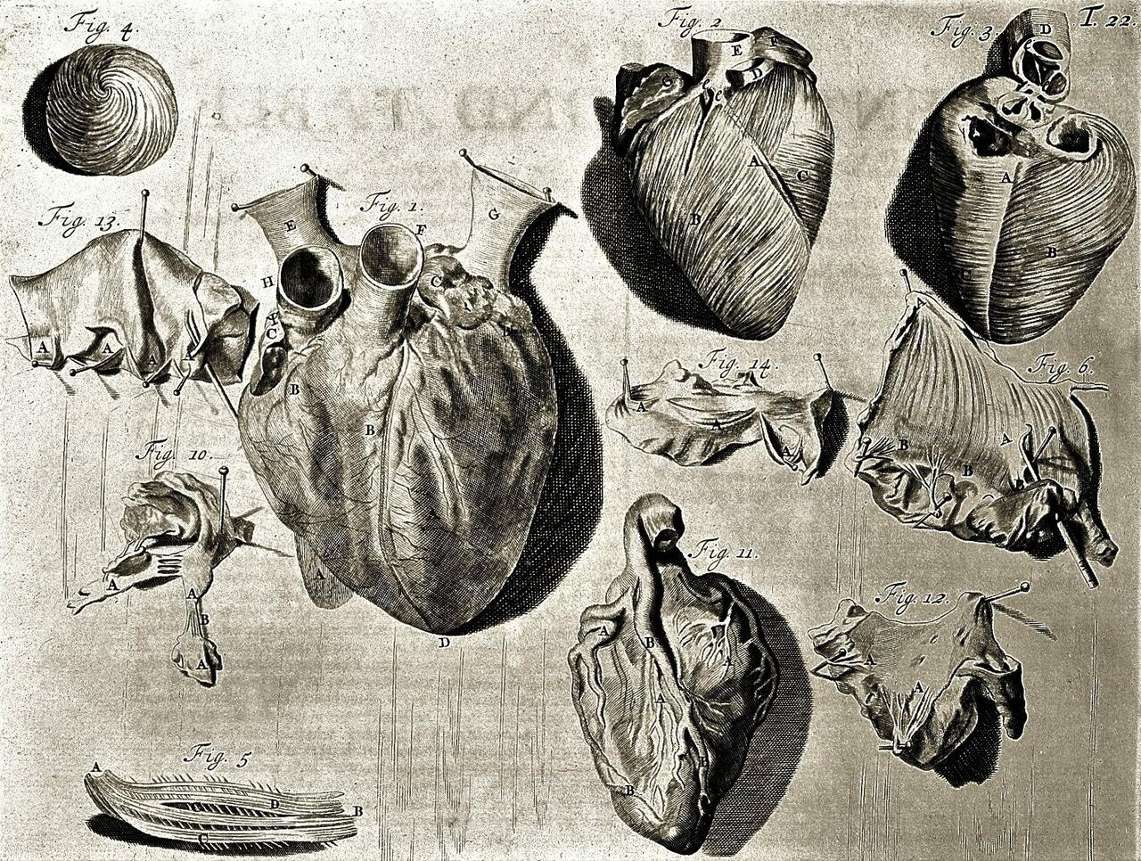 This 18th-century illustration shows a heart in various stages of dissection.