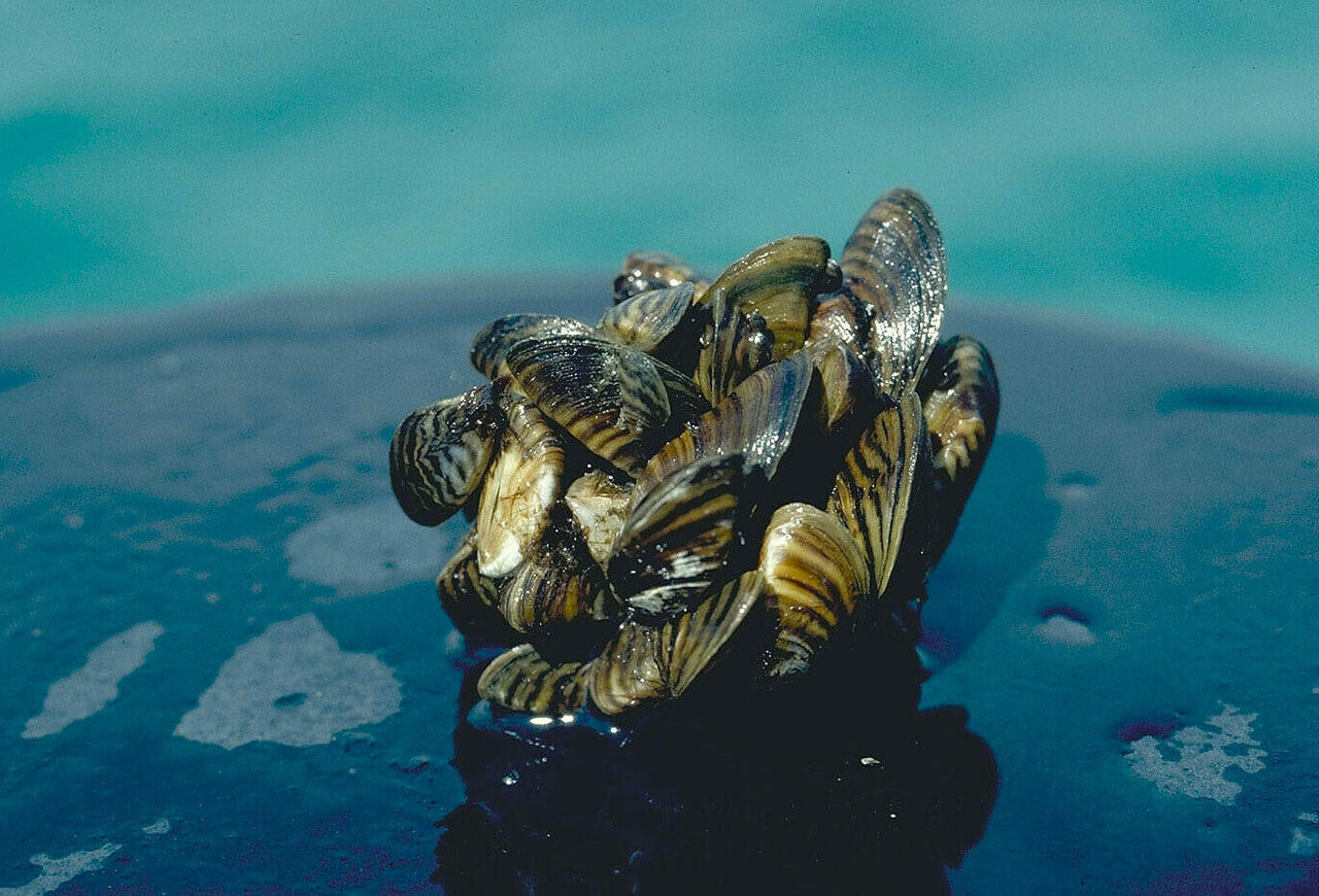 Several thousand zebra mussels can occupy just a square meter of space.