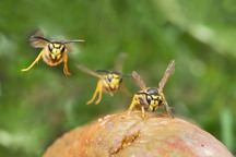 Drunk, Angry Wasps Are Coming For Your British Marmalade