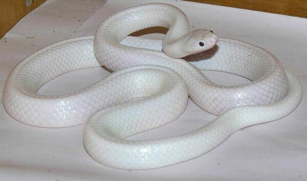 This White Snake Is Not Albino - Atlas Obscura