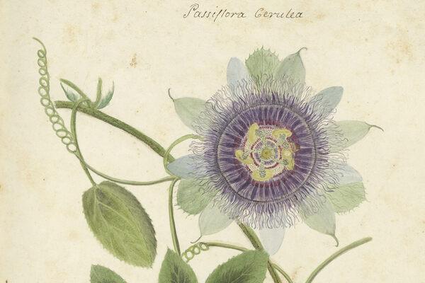 A Forgotten Botanist's Stunning 19th-Century Manuscript Is Now Online