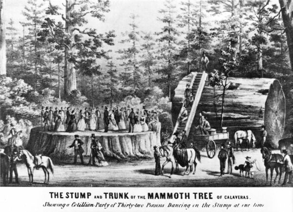 When Giant Sequoias Were Sacrificed For Traveling