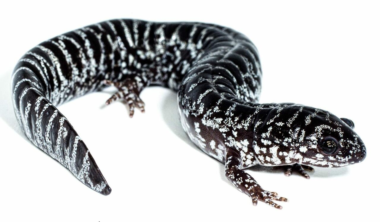Meet the reticulated flatwoods salamander (<em>Ambystoma bishopi</em>).