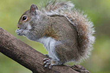On the left, the red squirrel, which is native to the United Kingdom. On the right, the gray squirrel.