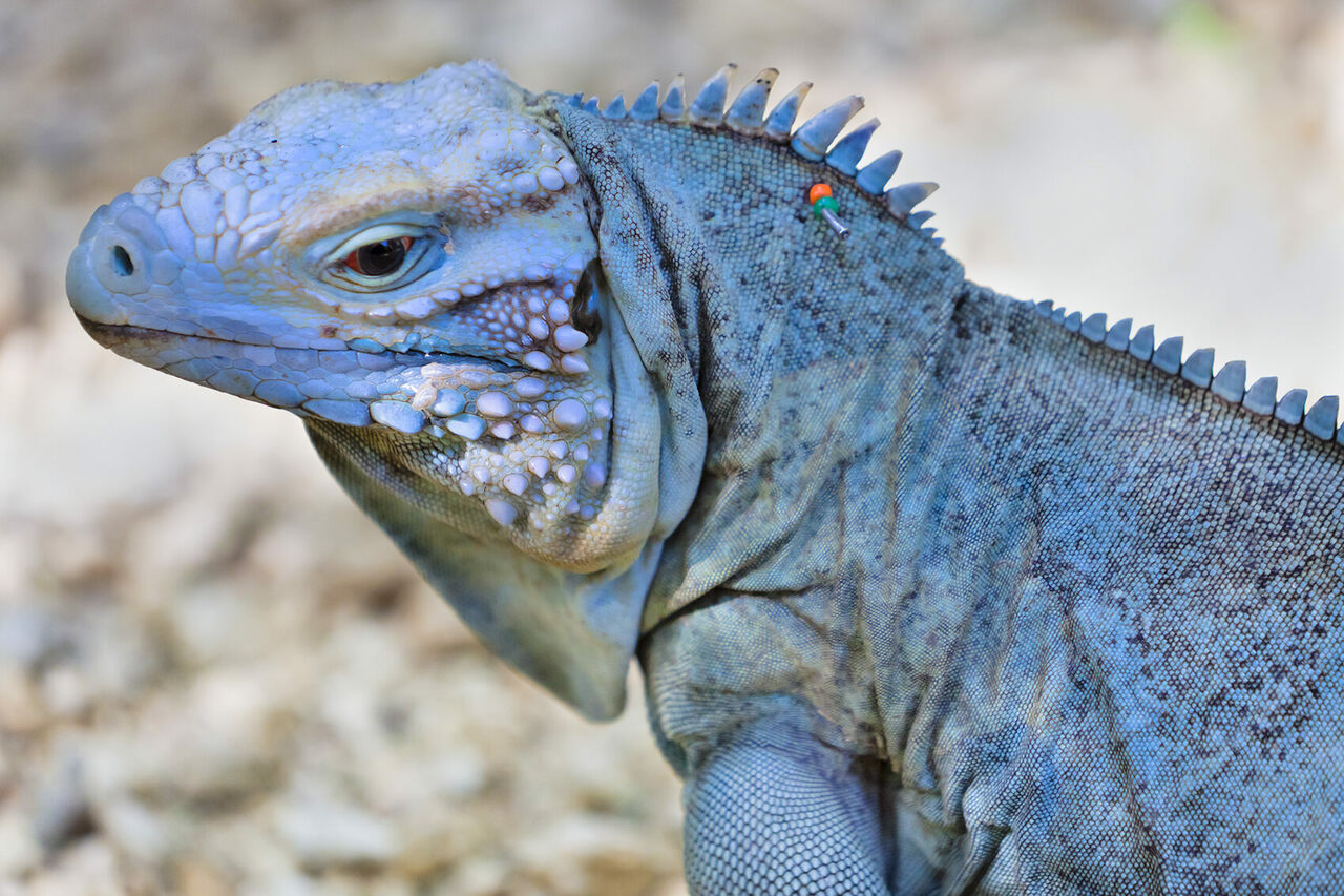 Conservationists have pinned beads in the crests of the island's blue iguanas to identify different individuals.
