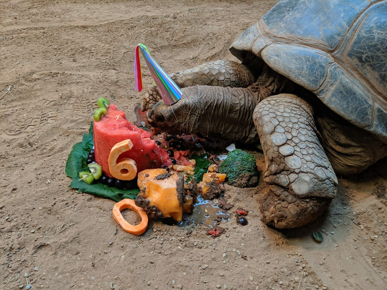 Henry, an Aldabra tortoise, demolished a fruit-and-veggie cake for his 60th birthday.