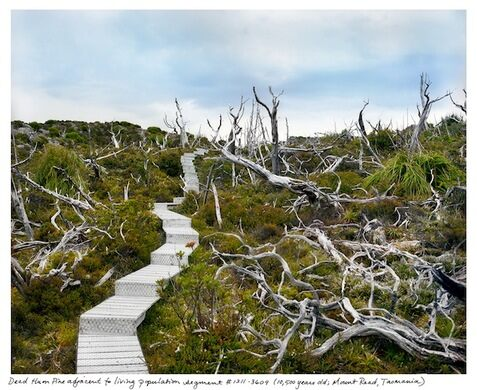 Dead Huon Pine adjacent to living population (10,000 years old, Mount Read, Tasmania)