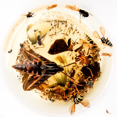 Insects caught in a BioSCAN trap