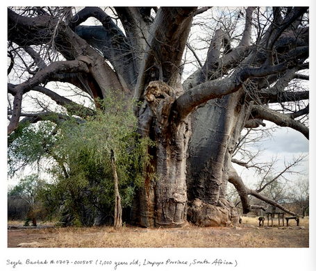 Segole Baobab (2,000 years old, Limpopo Province, South Africa)