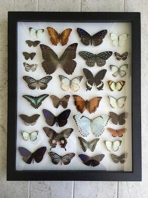 Mounted butterflys by Suzanne Berhow