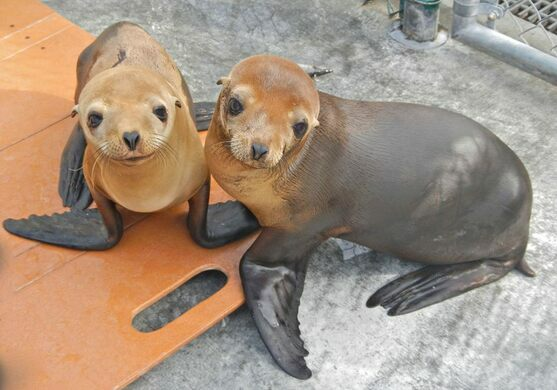 Rescued sea lions