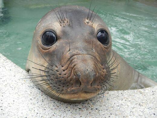 Rescued elephant seal