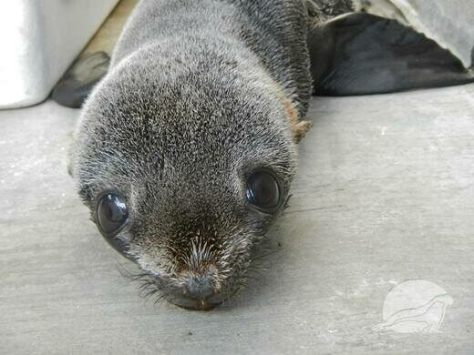 Rescued juvenile pinniped