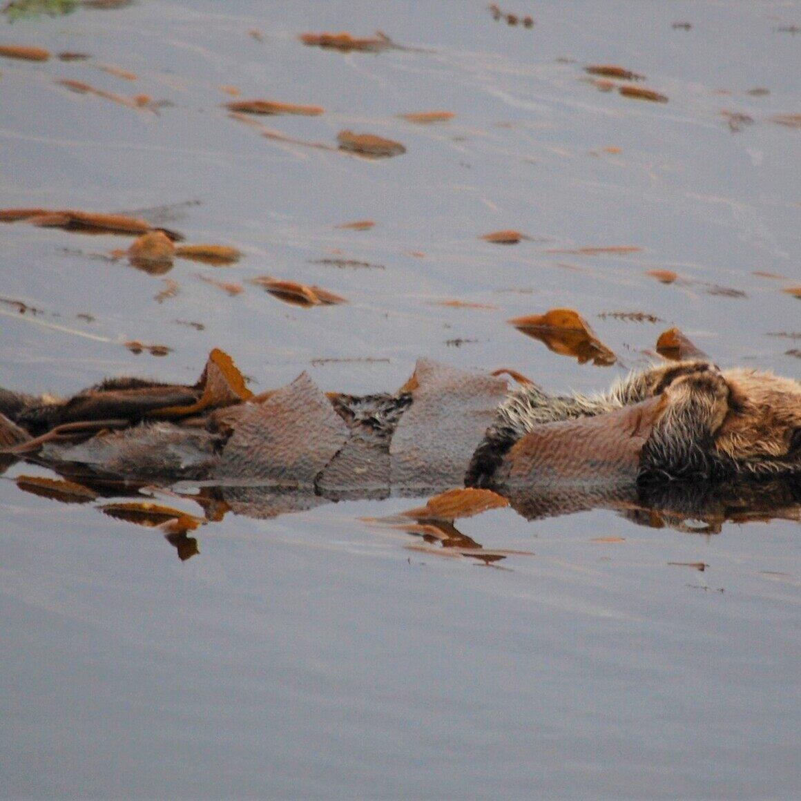 Sea otter at Morro Bay.