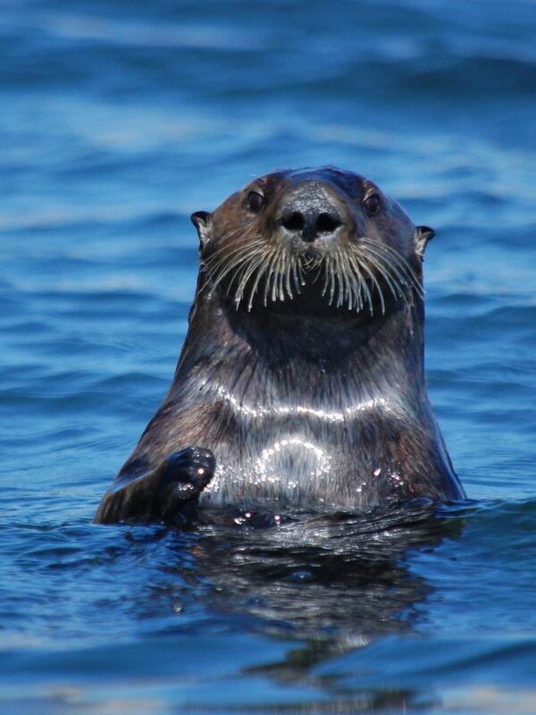 Sea otter surfacing.