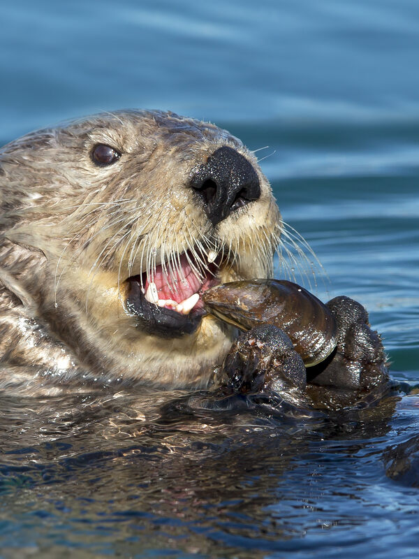 Sea otter eating mussel.