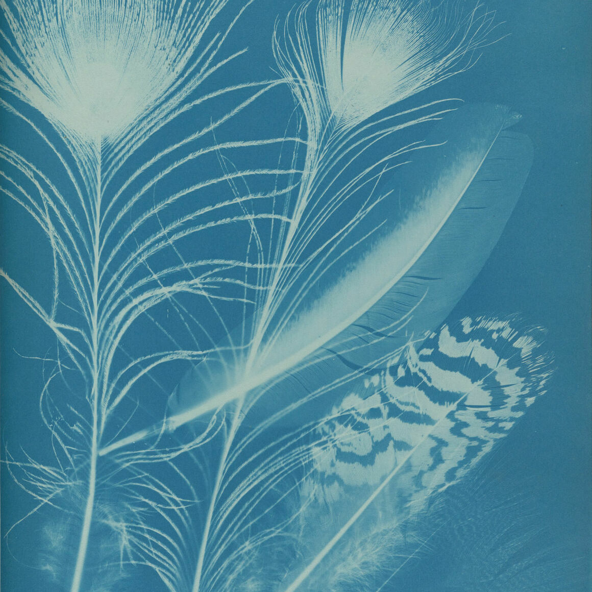 Anna Atkins and Anne Dixon, Peacock, 1861
