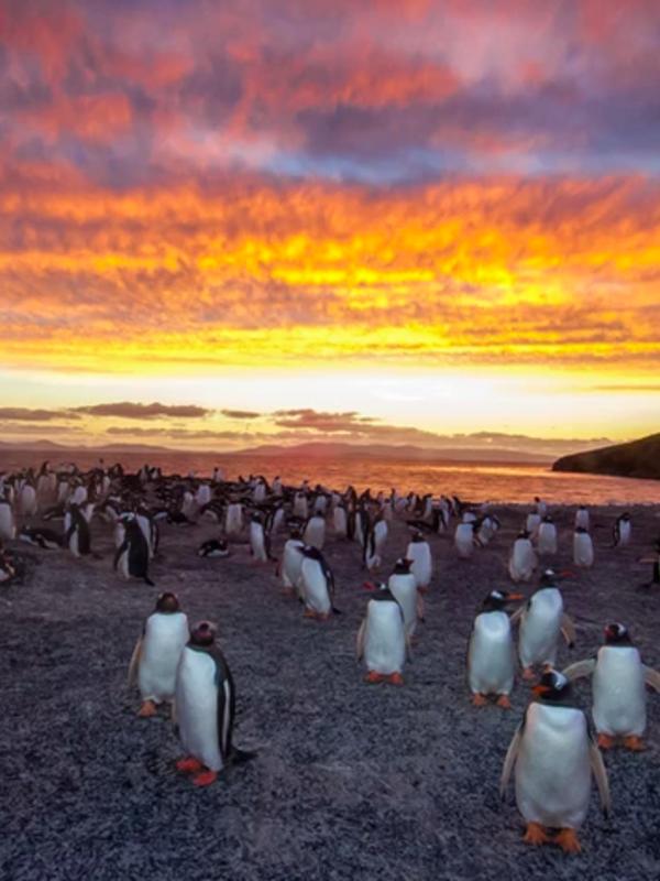 307 Gentoo Penguins--Saunders Island, Falklands.