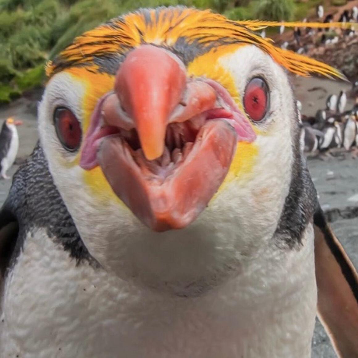 214 Royal Penguin-Sandy Bay, Macquarie Island.