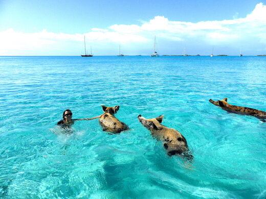 Pig Beach – Big Major Cay, Bahamas - Atlas Obscura