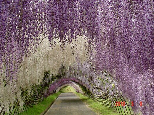 Wisteria Tunnel Kitakyushu Japan Atlas Obscura