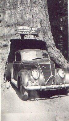 Chandelier Tree – Leggett, California - Atlas Obscura