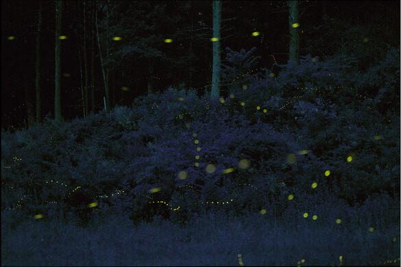 blue ghost fireflies hendersonville north carolina atlas obscura