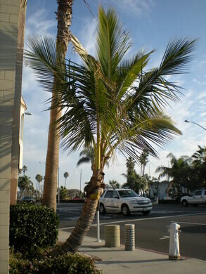 California S Coconut Palm Forumcomment View All Photos