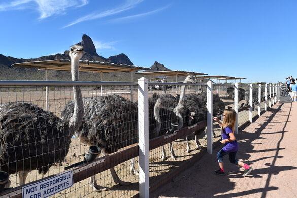 Rooster Cogburn Ostrich Ranch – Picacho, Arizona - Atlas Obscura