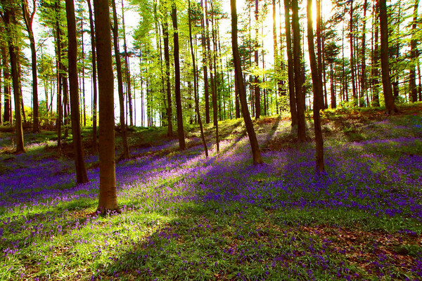 The Blue Forest Halle Belgium Atlas Obscura