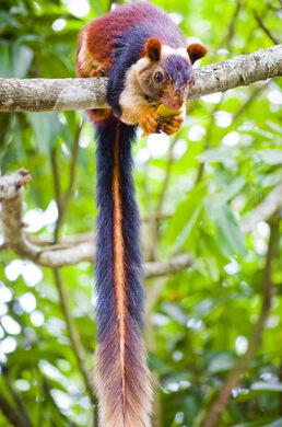 india s giant technicolor squirrels bhimashankar india atlas