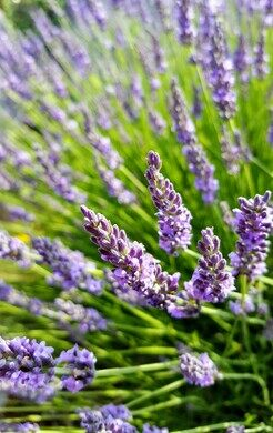 Cherry Point Farm and Market Lavender Labyrinth – Shelby