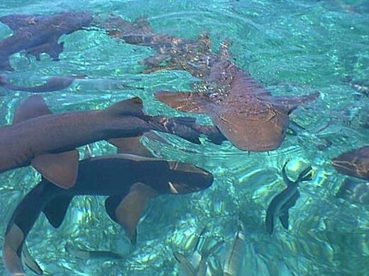shark ray alley ambergris caye belize atlas obscura