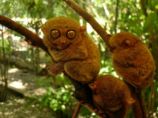 philippine tarsier and wildlife sanctuary corella philippines