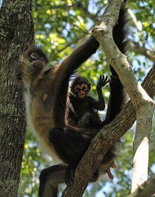 Spider Monkeys of Tikal