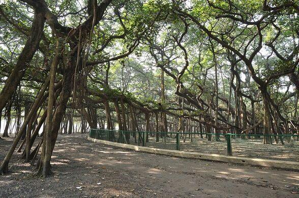 Image result for banyan tree in kolkata