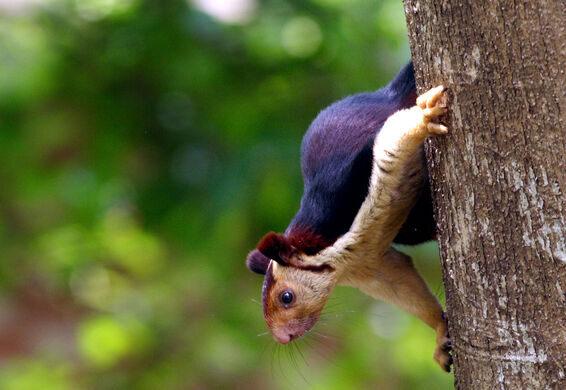 India's Giant Technicolor Squirrels