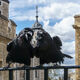 Two of the ravens at the Tower of London.