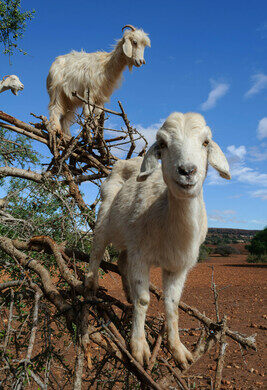 The Tree Goats of Morocco – Tamri, Morocco - Atlas Obscura