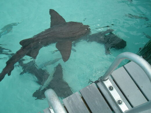 Nurse Sharks of Compass Cay – Bahamas - Atlas Obscura