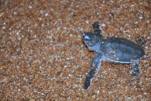 A hatchling on Shell Beach.