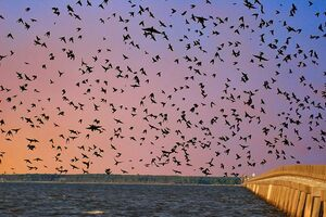 Purple martins fly back to the William B. Umstead bridge at dusk.