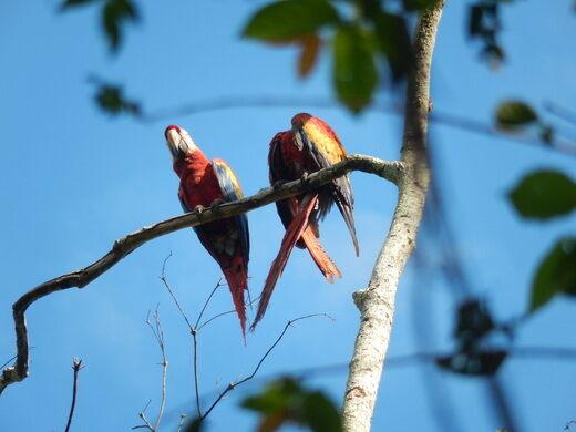 Scarlet Macaws of Palenque – Palenque, Mexico - Atlas Obscura