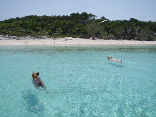 Swimming Pigs of Big Major Cay – Bahamas | Atlas Obscura