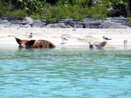 Swimming Pigs of Big Major Cay – Bahamas - Atlas Obscura