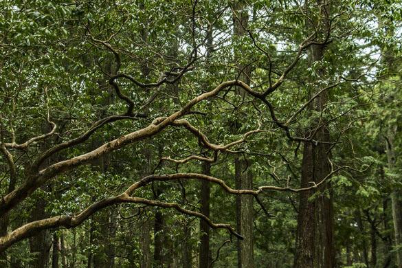 Aokigahara Suicide Forest – Fujinomiya-shi, Japan - Atlas Obscura