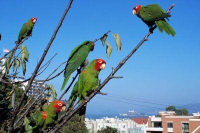 Fort Myers Mitsubishi >> The Parrots of Telegraph Hill – San Francisco, California ...
